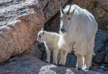 Mountain Goat and Baby Lamb on a Rocky Mountain
