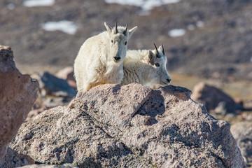 Mountain Goat Juveniles on a Rocky Mountain