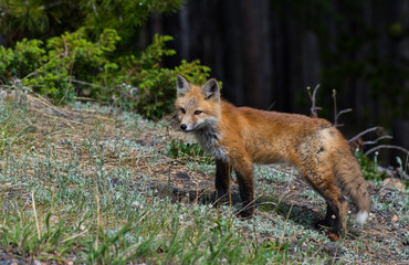 Adorable Red Fox on a Mountain Meadow