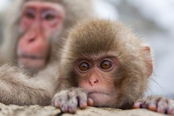 An adult and baby snow monkey in a hot spring, Jigokudani Monkey Park, Nagano, Japan.
