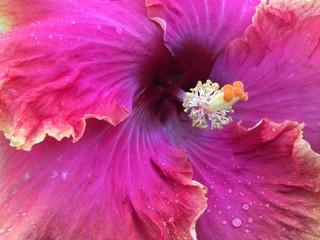 Rumrunner Hibiscus