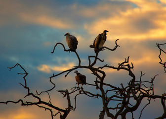 A pair of vultures on a bare tree.