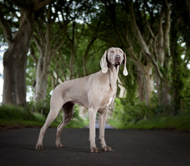 A weimaraner on a forest road.