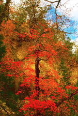 An autumnal tree in Lost Maples State Park, Texas.
