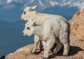 Mountain Goats in the Rocky Mountains