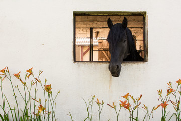 A horse sticking its head out of a window.