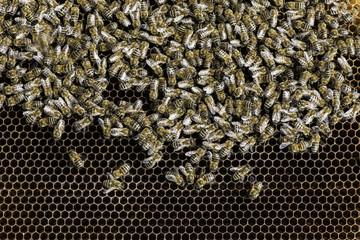Honey bees on honeycomb.