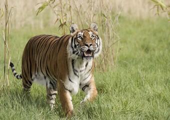 A tiger walking past bamboo