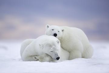 Polar bears sleeping at sunset.