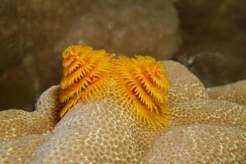 Underwater marine life a christmas tree worm, Spirobranchus giganteus, fixed on lobe coral, Bora Bora, Pacific ocean, French Polynesia