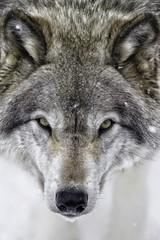 Close up of a timberwolf.