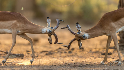 Two impalas fighting in Zambia.
