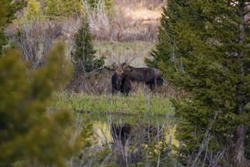 Bull Moose Stare