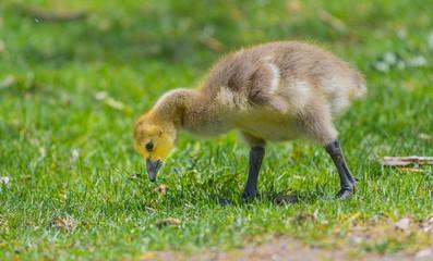 Baby Canada Goose Gosling