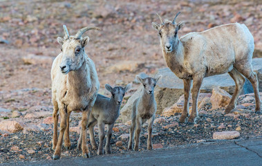 Bighorn Sheep Lambs with Mother