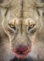 A lioness with a blood coated muzzle, Masai Mara, Kenya.