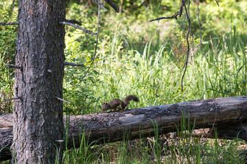 Tree Squirrel on a Log