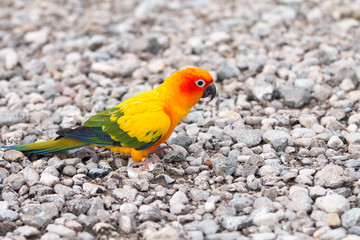 Parrot on the ground