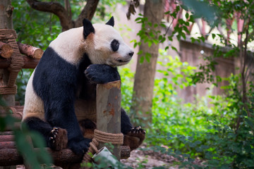 Giant panda sitting on wood and looking far ahead