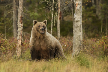 Wall Mural - Brown Bear in Nordic forest