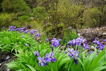 iris in the wild