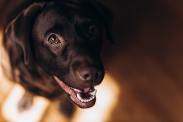 Happy brown labrador