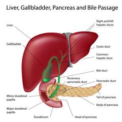 Liver, gallbladder and bile ducts
