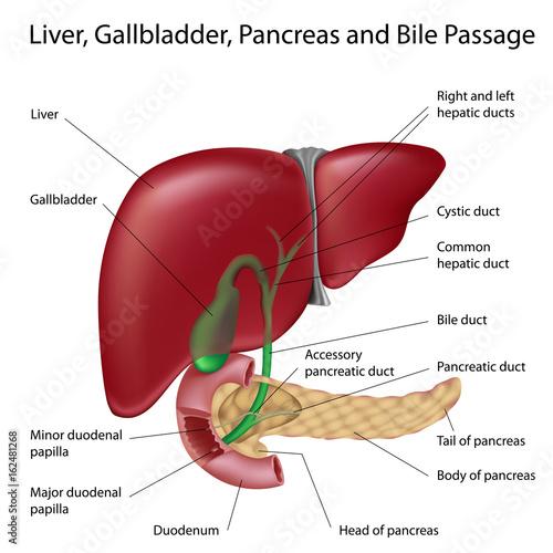 Liver, gallbladder and bile ducts\