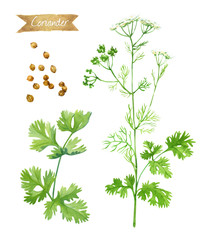 Coriander plant with flowers,  leaves and seeds isolated on white watercolor illustration