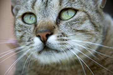 Cat with beautiful eyes background