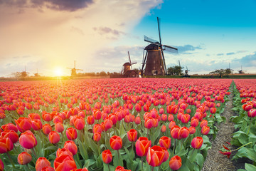 In de dag Zalm Majestic dawn over beautiful field of tulip flowers and windmill, traditional Holland landscape
