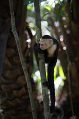 White faced capuchin monkey in Quepos, Costa Rica