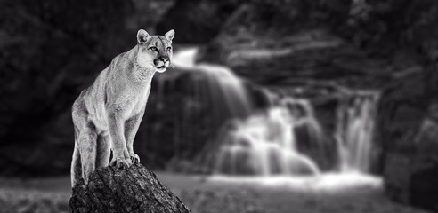 Puma at the Falls, mountain lion, puma