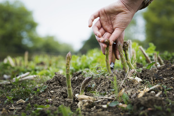 Close up of person harvesting spears of green asparagus with a knife.