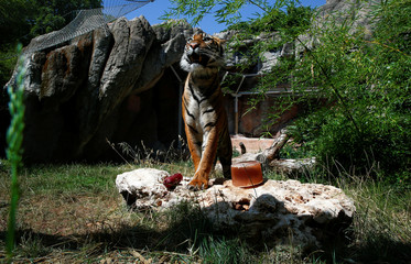 A Sumatran tiger stands next to a frozen blood lollipop on a hot summer day at the Bioparco zoo in Rome