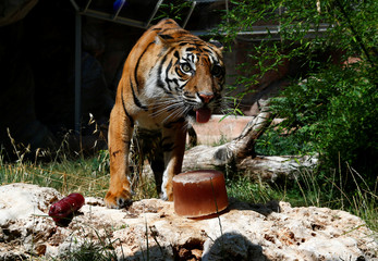 Sumatran tiger Tila is seen next to a frozen blood lollipop on a hot summer day at the Bioparco zoo in Rome