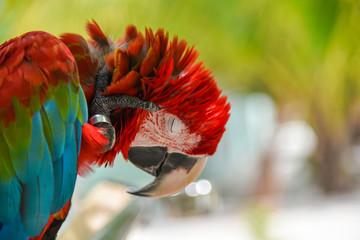 Greenwinged Macaw aviary, sitting on the tree
