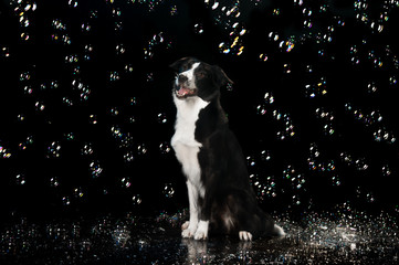 Aqua studio, border collie on the dark background with bubbles