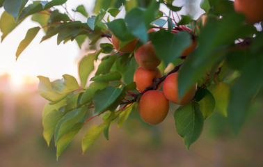 Close up photo of the ripe apricots in the orchard