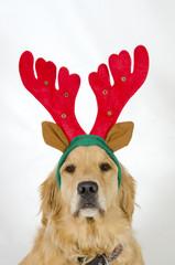 Golden Retriever in Reindeer Antlers