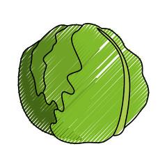 lettuce fresh vegetable
