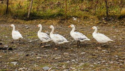 Lovely geese in Azerbaijan village