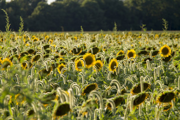 Sunflowers in an Indiana field at sunset