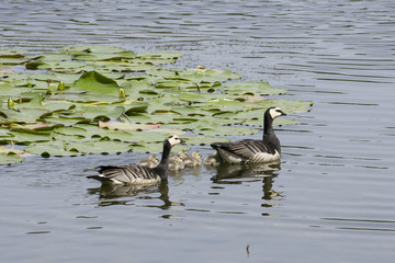barnacle gooses swimming with their young ones
