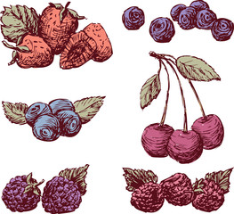 sketches of the ripe berries