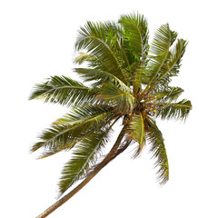 Tilted coconut palm isolated on white