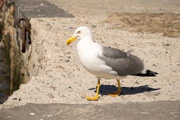 Yellow-legged gull in the harbour of Lipari, Italy