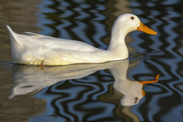 White domestic duck on water. Aesthetic nature image.