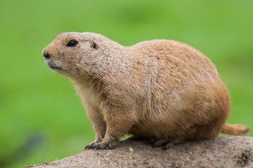 Prairie dog. Marmot rodent in close up isolated against plain green background.