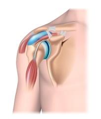 Shoulder joint structure, unlabeled.